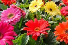 New listing 50pcs gerbera Flower Seeds Chrysanthemum Daisy Mixed colors Perennial