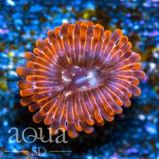 New listing Asd - 003 Flaming Hot Zoanthids - Wysiwyg - Aqua Sd Live Coral Frag