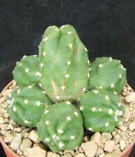 Echinocereus Gentryi choice 5.8cm collectors Mexican cactus