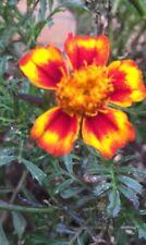 Mix Bag Marigold Seed Beautiful Flower 100 Seeds