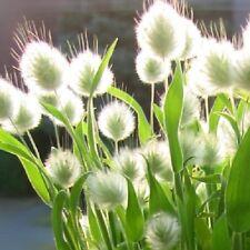 Bunny's Tail Grass / Lagurus ovatus / Hardy Annual / 500 Seeds