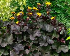 Muehlenbeckia axillaris perennial ground cover and rockery plant 9cm pot