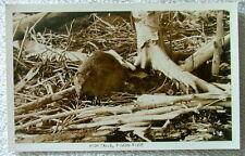 RPPC POSTCARD BEAVER AMONG FALLEN TREES HIGH FALLS PIGEON RIVER ONTARIO CANADA