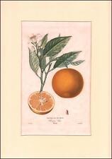 ORANGE DE LA CHINE by POITEAU, stipple engraving hand color, matted 1818
