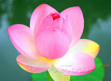 10 Seeds Pink Beauty Lotus Seeds Water Plants Fragrance Aquatic Flowers