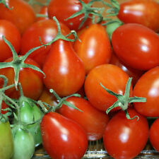TOMATO Baby Red Pear Seeds (V 536)