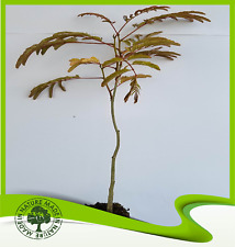 Albizia julibrissin rosea (Pink silk tree) - Plant
