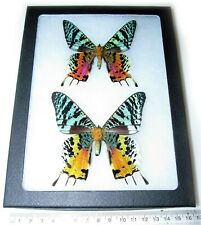 Real Madagascar Sunset Moth Urania Ripheus Pair Framed Butterfly Insect