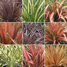 5 X Phormium Plant Mix - High Quality Established Plants in Pots UK Grown