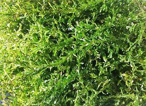 Quellmoos mit Haftwurzeln für den Teich Bachlauf Deko Gartenteich Wasserpflanzen