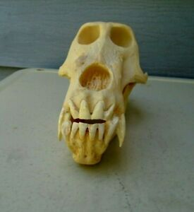 Vintage Taxidermy Animal Skull Nice Theatrical Prop for Halloween