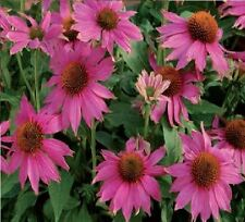 Flower - Echinacea - PowWow - Wild Berry - 5 Seeds