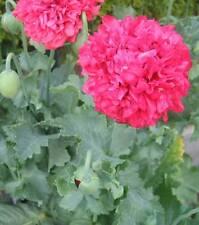 0,25 grammi (circa 500 semi) papavero somniferum-Venere, rosa riempito sferico