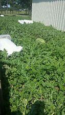 Random giant watermelon seeds - carolina cross - 25 seeds