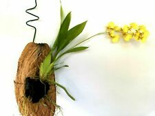 Coconut Husk Shell With Hanger Orchid Tillandia Epiphyte Tropical Organic Garden