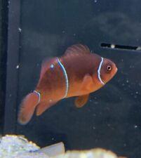 Spotted Maroon Clownfish Marine Saltwater Fish Pair