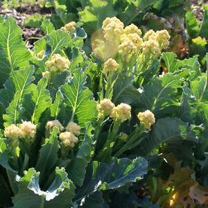 Mehrjähriger Brokkoli, 9-star perennial broccoli, Rarität, Pflanze