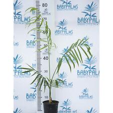 chamaedorea plumosa  height 60-70 cm pot 12 cm