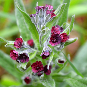 Dog's Tongue - Gypsy Flower - Cynoglossum officinale - 100+ seeds - Semillas