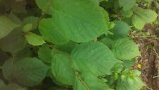 6 Hazelnut Cuttings Fresh cut