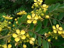 50 Seeds, Kassod Tree, Cassod Tree rare ขี้เหล็ก Herb Siamese cassia