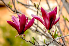 Magnolia Liliiflora 'Nigra' / Black Lily Magnolia 60-80cm in 2L Pots