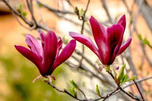 Magnolia Liliiflora 'Nigra' / Black Lily Magnolia in 9cm Pot, Purple Red Flowers