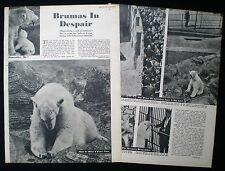 BRUMAS POLAR BEAR REGENT'S PARK ZOO LONDON 2pp PHOTO ARTICLE 1951