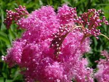 Filipendula rubra   Queen Of The Prairie   50_Seeds