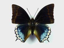 Charaxes euryalus Männchen
