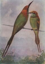 INDIAN BIRDS. The Common or Green Bee-eater 1943 old vintage print picture