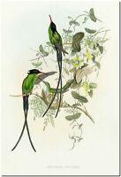 "Vintage Hummingbird Art John Gould CANVAS PRINT~ TROCHILUS POLYTMUS 36x24"""
