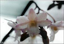 Bin-Dendrobium cumulatum Unique Species! Collectors Orchid! Easy to grow! Nice