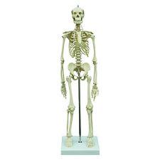 Rüdiger Anatonie Mini-Skelett (MI200)