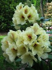 Rhododendron Holden's Solar Flair - #1 Container Size Plant - Hardy to -10 F