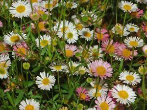 Erigeron karvinskianus 'Sea of Blossom' (Mexican Fleabane) - 1 litre pots