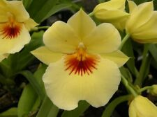 """Milt. Hawaiian Punch 'Kalapana"""" Fragrant Compact grower Previously Bloomed/Bs"""