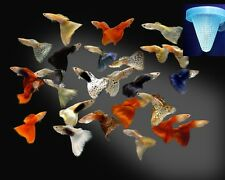 Worm Cone Feeder for Live Food, Brine Shrimp Artemia x 3 pieces fish tank feeder