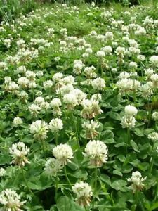 Clover- White Dutch- 500 Seeds- BOGO 50% off SALE