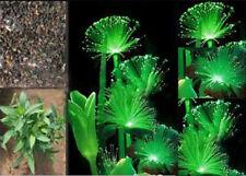 100 Pcs Rare Emerald Fluorescent Flower Seeds Night Light Emitting Plants PY023