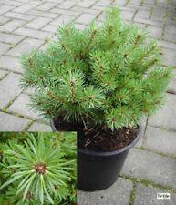 Pinus sylvestris Hüppstel - Hexenbesen der Waldkiefer