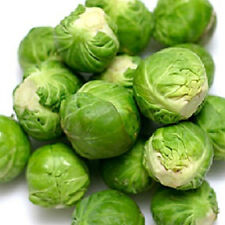 3,000 Brussel Sprout Seeds Long Island Improved