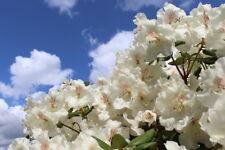 Rhododendron 'Schneekrone' 20-30cm Tall In 1.5L Pot, Stunning Flowers