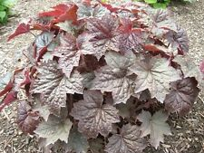 30+ PURPLE PALACE  HEUCHERA GROUND COVER SEEDS / DEER RESISTANT PERENNIAL