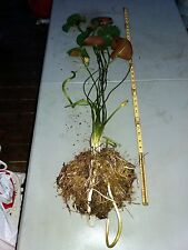 Hardy Water Lily Giant Size. Full Size Plant. Yellow Flowers. +Free Fertilizer!