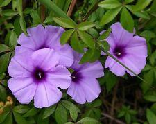 Railway Creeper - Ipomea - IPOMOEA CAIRICA - 10 Seeds Flowers