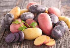 TPS-Russian True Potato Seeds - FIREWORK-(Salut) - 30 Original Vegetable Seeds