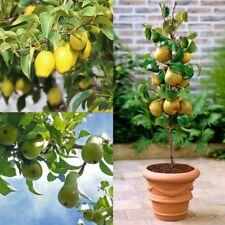 20Pcs Sweet Fruit Pear Seed Indoor Mini Bonsai Tree Easy Grow Home Garden Plants