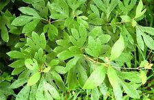 Sassafras Tree - Fragrant Healthy Established Roots - 1 Gallon Pot - 1 Plant