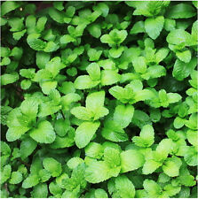 50 Seeds Of Each Pack Catnip Seeds Nepeta Cataria Rare Herb D033 Hot